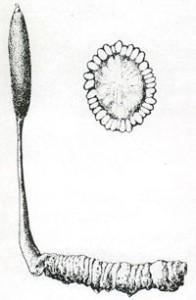"""""""Шаманова шея"""", Cordyceps sinensis, символически вырастающий из личинки. (Старая китайская иллюстрация)"""